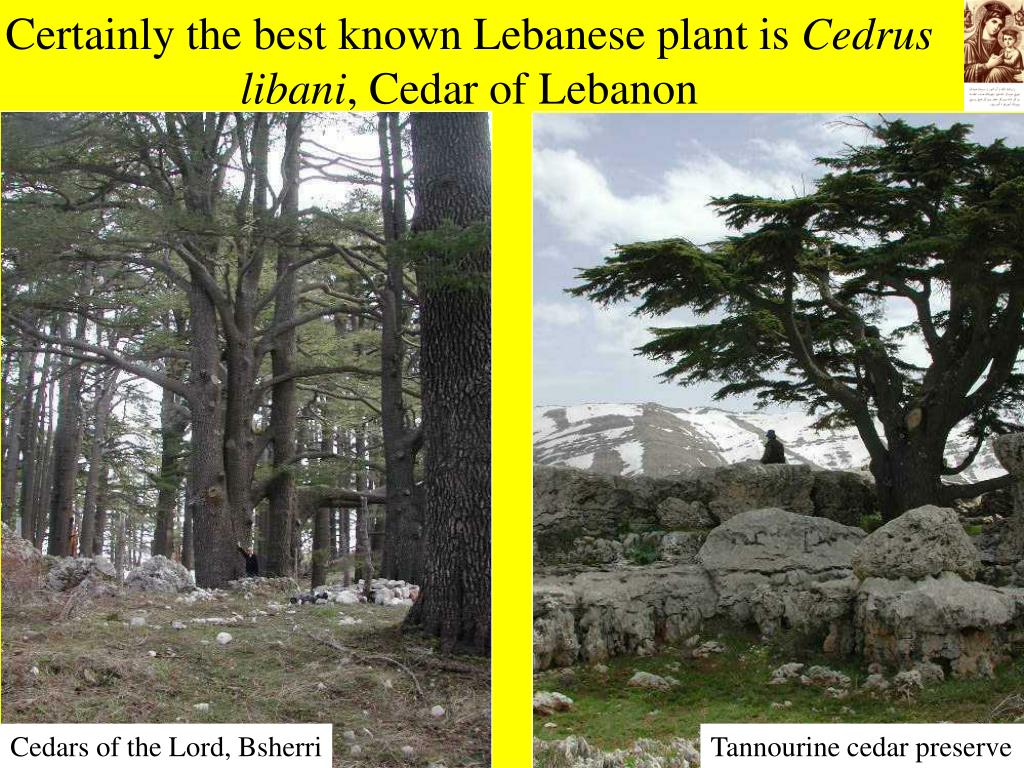 Certainly the best known Lebanese plant is