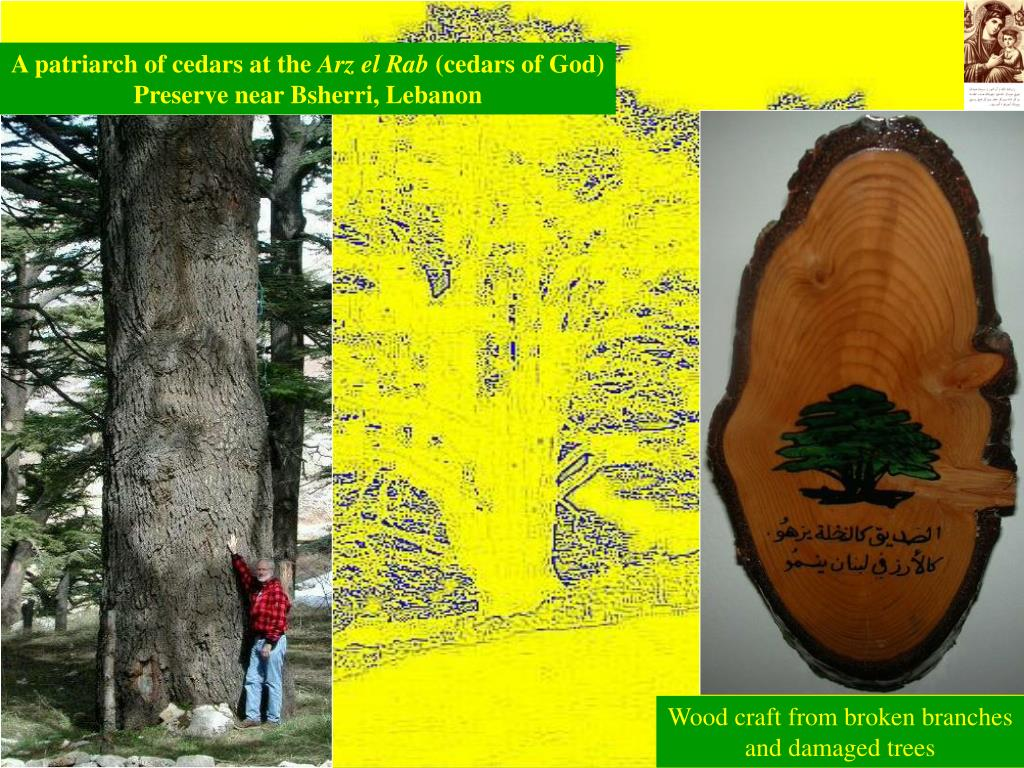 A patriarch of cedars at the