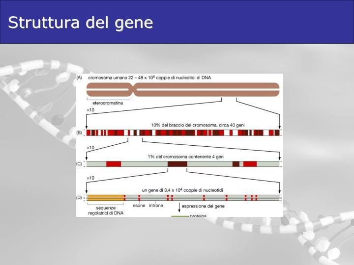 Struttura del gene