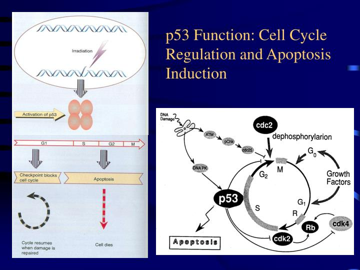 p53 Function: Cell Cycle