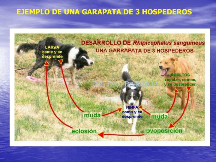 EJEMPLO DE UNA GARAPATA DE 3 HOSPEDEROS