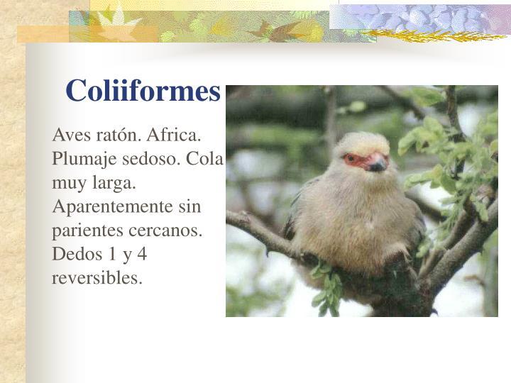 Aves ratón. Africa. Plumaje sedoso. Cola muy larga. Aparentemente sin parientes cercanos. Dedos 1 y 4 reversibles.