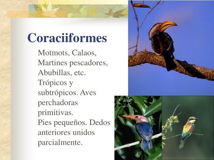 Motmots, Calaos, Martines pescadores, Abubillas, etc.