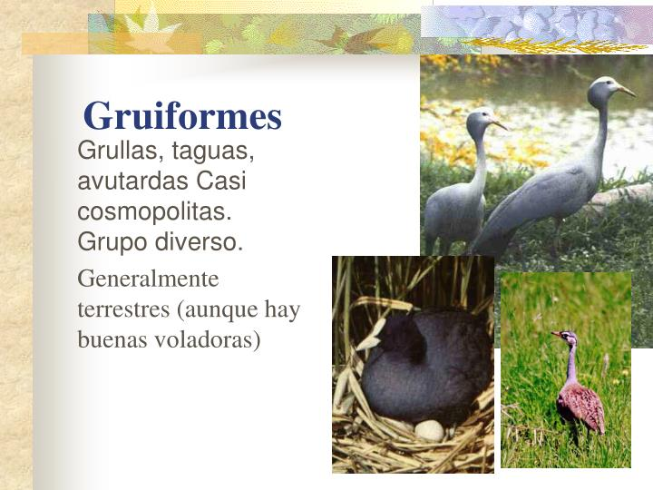 Grullas, taguas, avutardas Casi cosmopolitas. Grupo diverso.