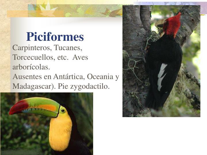 Carpinteros, Tucanes, Torcecuellos, etc.  Aves arborícolas.