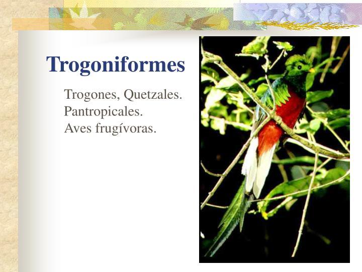 Trogones, Quetzales. Pantropicales.