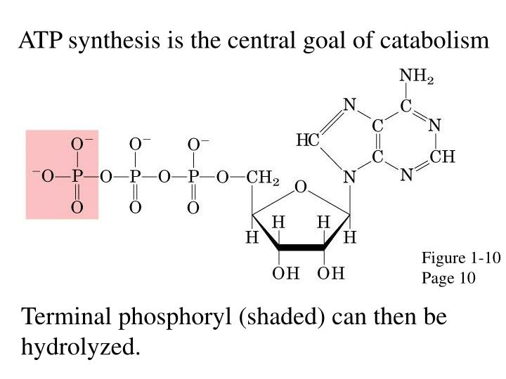 ATP synthesis is the central goal of catabolism