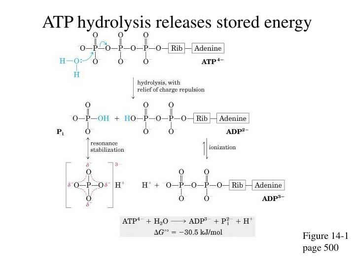 ATP hydrolysis releases stored energy