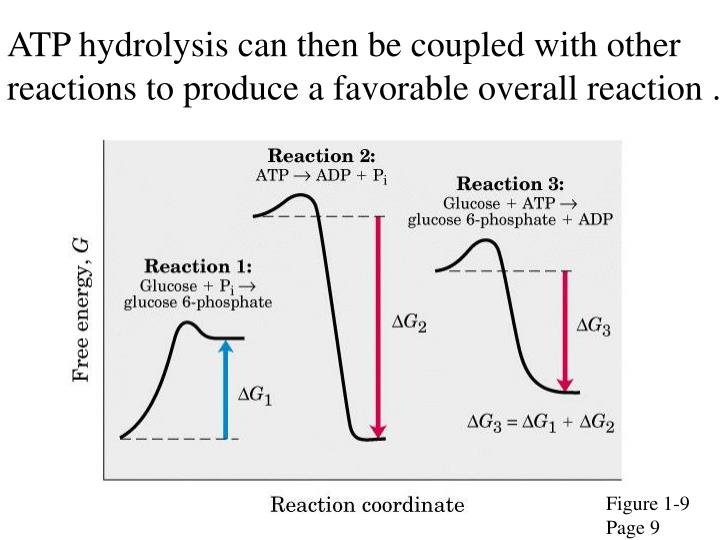 ATP hydrolysis can then be coupled with other