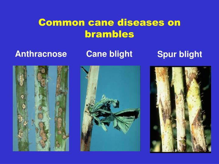 Common cane diseases on brambles