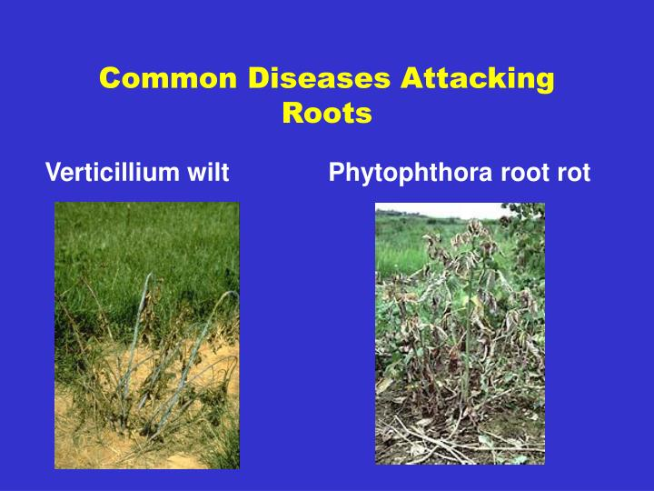 Common Diseases Attacking Roots