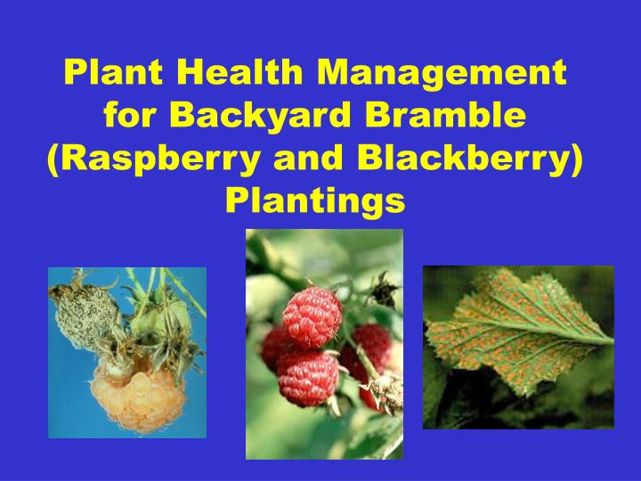 Plant health management for backyard bramble raspberry and blackberry plantings