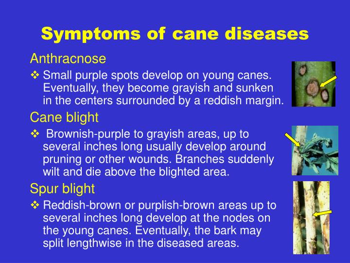 Symptoms of cane diseases