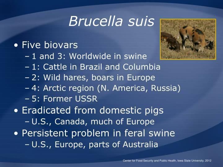 Brucella suis