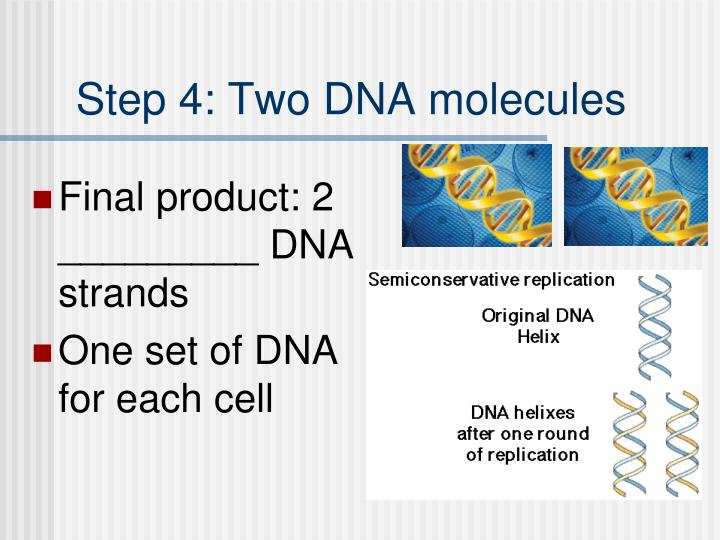 Step 4: Two DNA molecules