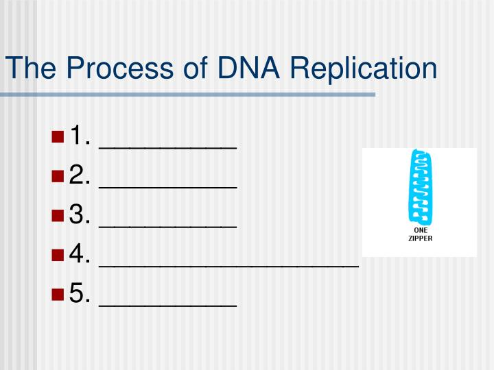 The Process of DNA Replication