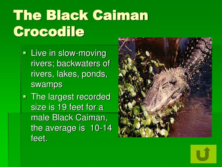 The Black Caiman Crocodile