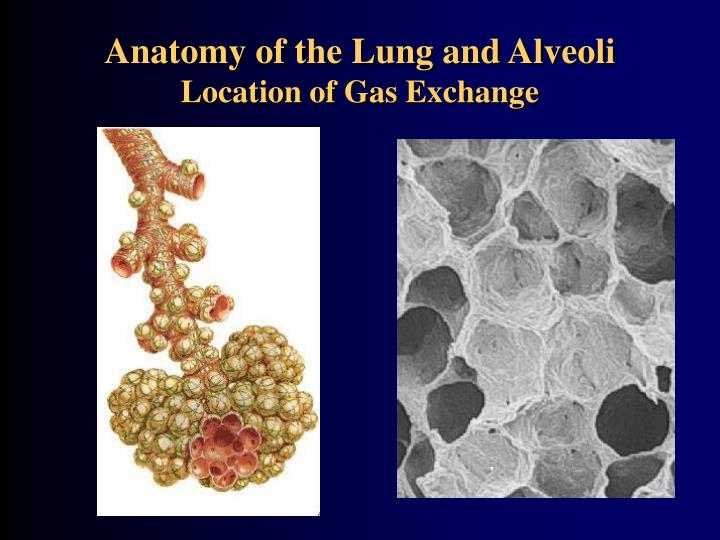 Anatomy of the Lung and Alveoli