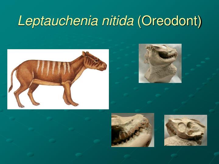 Leptauchenia nitida