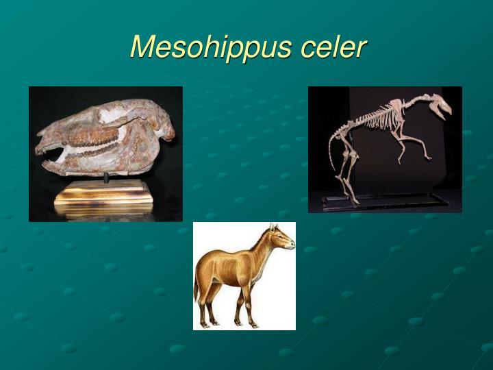 Mesohippus celer