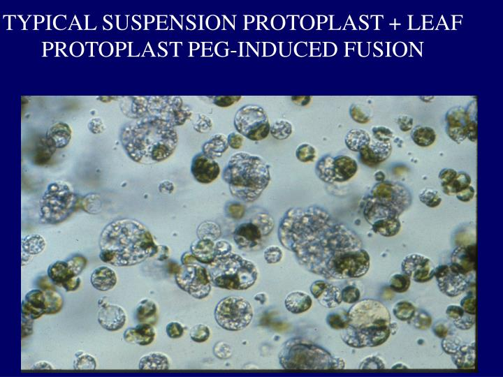TYPICAL SUSPENSION PROTOPLAST + LEAF PROTOPLAST PEG-INDUCED FUSION