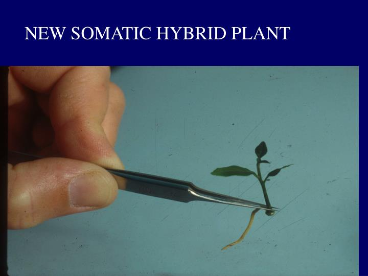 NEW SOMATIC HYBRID PLANT