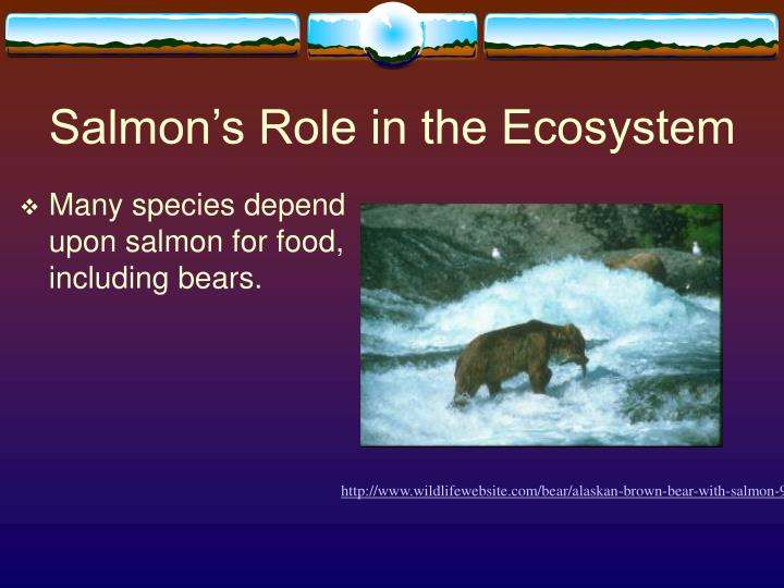 Salmon's Role in the Ecosystem