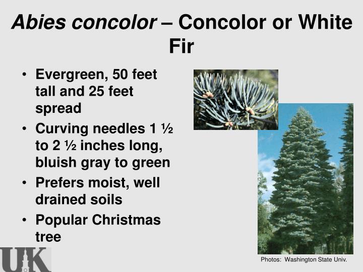 Abies concolor –