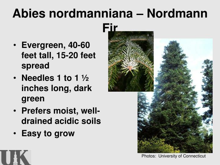 Abies nordmanniana – Nordmann Fir