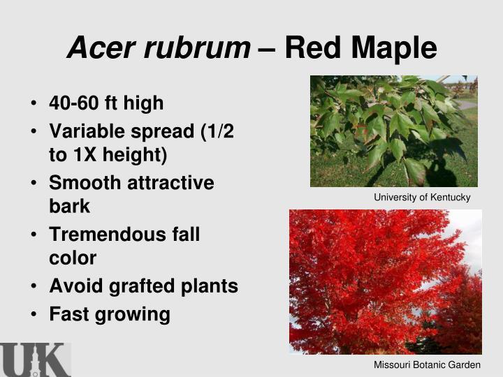 Acer rubrum –
