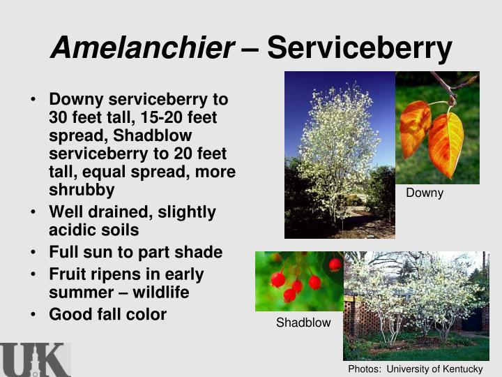 Amelanchier –