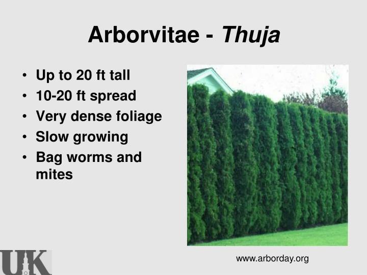 Arborvitae -
