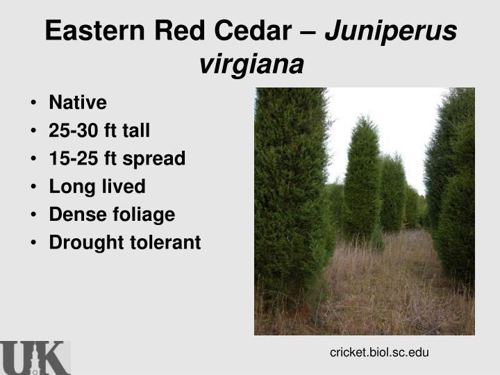 Eastern Red Cedar –