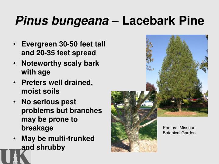 Pinus bungeana –