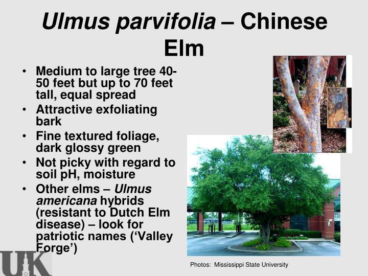 Ulmus parvifolia –