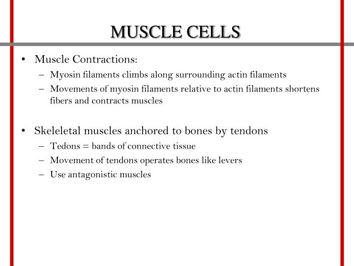 MUSCLE CELLS