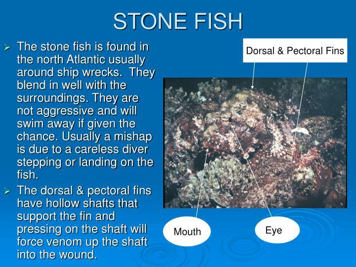 STONE FISH