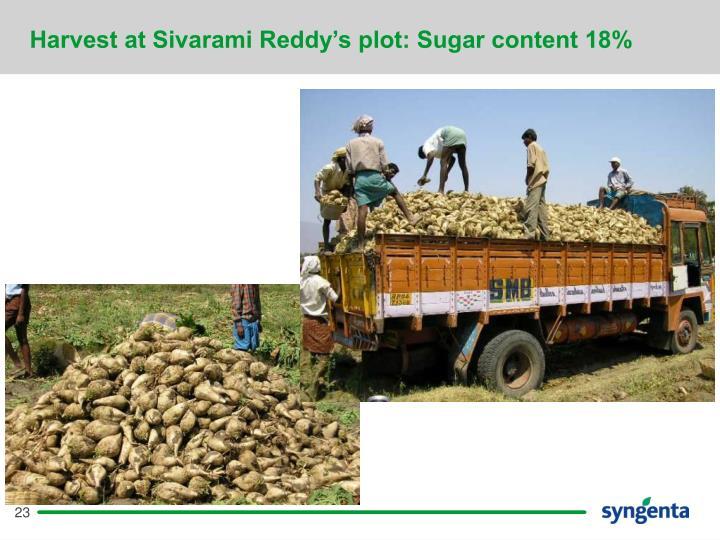 Harvest at Sivarami Reddy's plot: Sugar content 18%