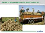 harvest at sivarami reddy s plot sugar content 18