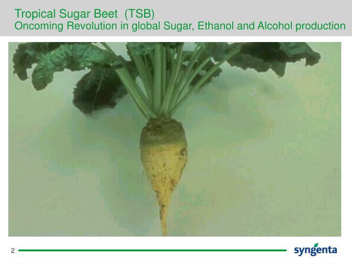 Tropical Sugar Beet