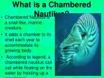 what is a chambered nautilus