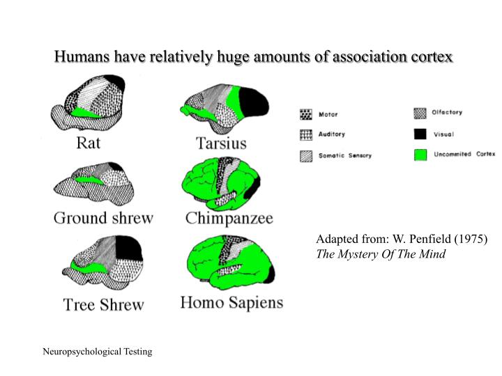 Humans have relatively huge amounts of association cortex