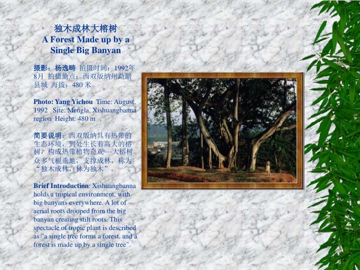 独木成林大榕树