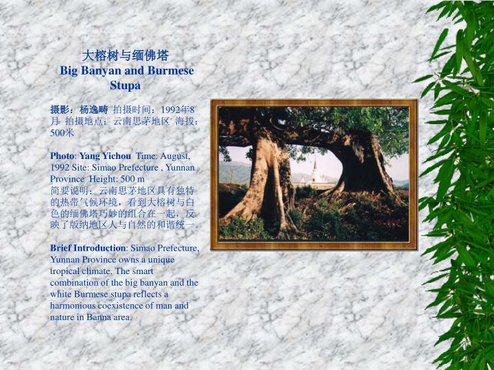 大榕树与缅佛塔