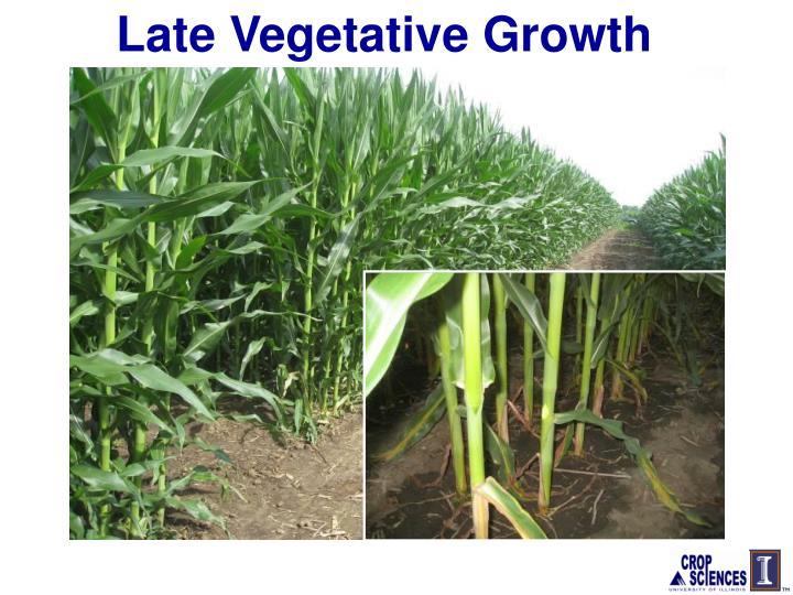 Late Vegetative Growth
