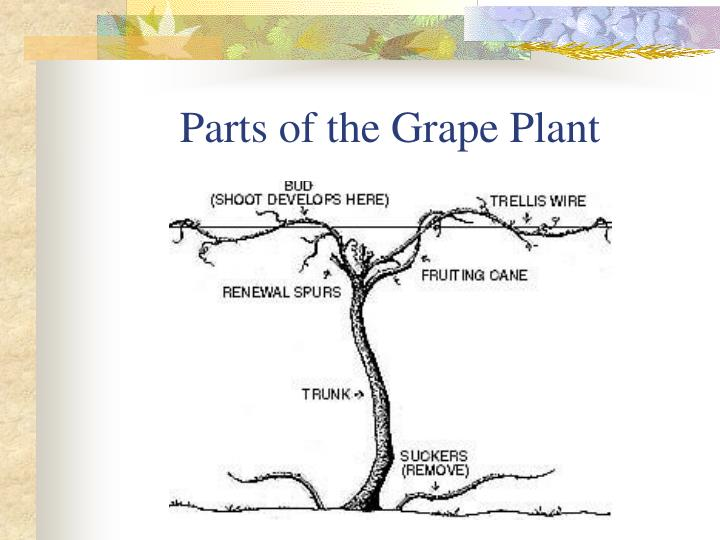 Parts of the Grape Plant