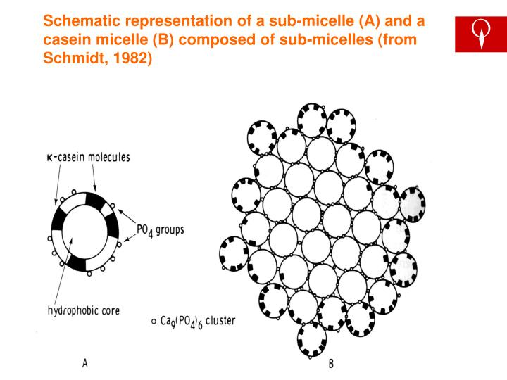 Schematic representation of a sub-micelle (A) and a casein micelle (B) composed of sub-micelles (from Schmidt, 1982)