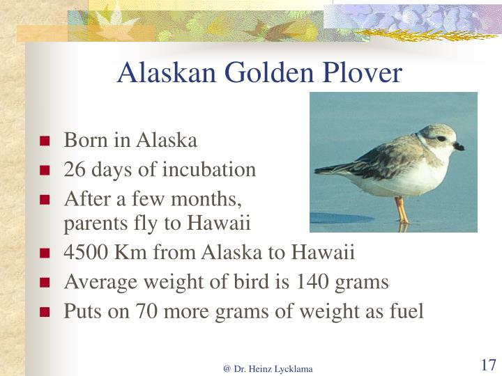 Alaskan Golden Plover