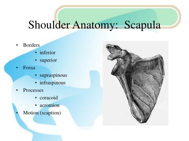 Shoulder Anatomy:  Scapula