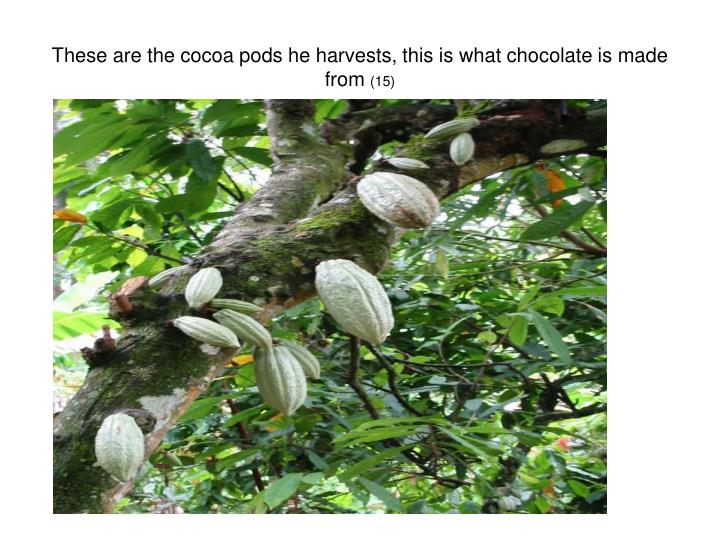 These are the cocoa pods he harvests, this is what chocolate is made from